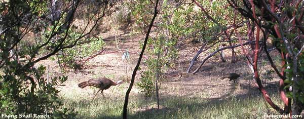 Turkeys in front yard at old Flying Snail Ranch
