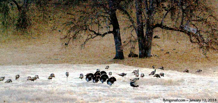 Turkeys ~ January 12, 2014 ~ 7:30 AM