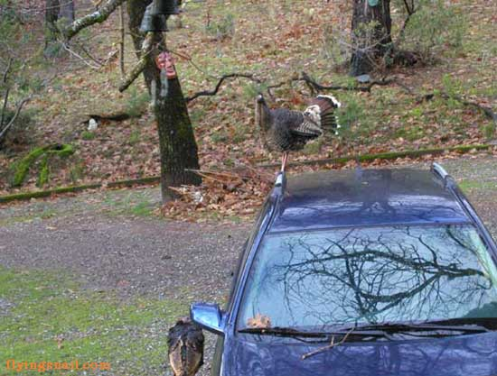 Young  Wild Turkey on car.